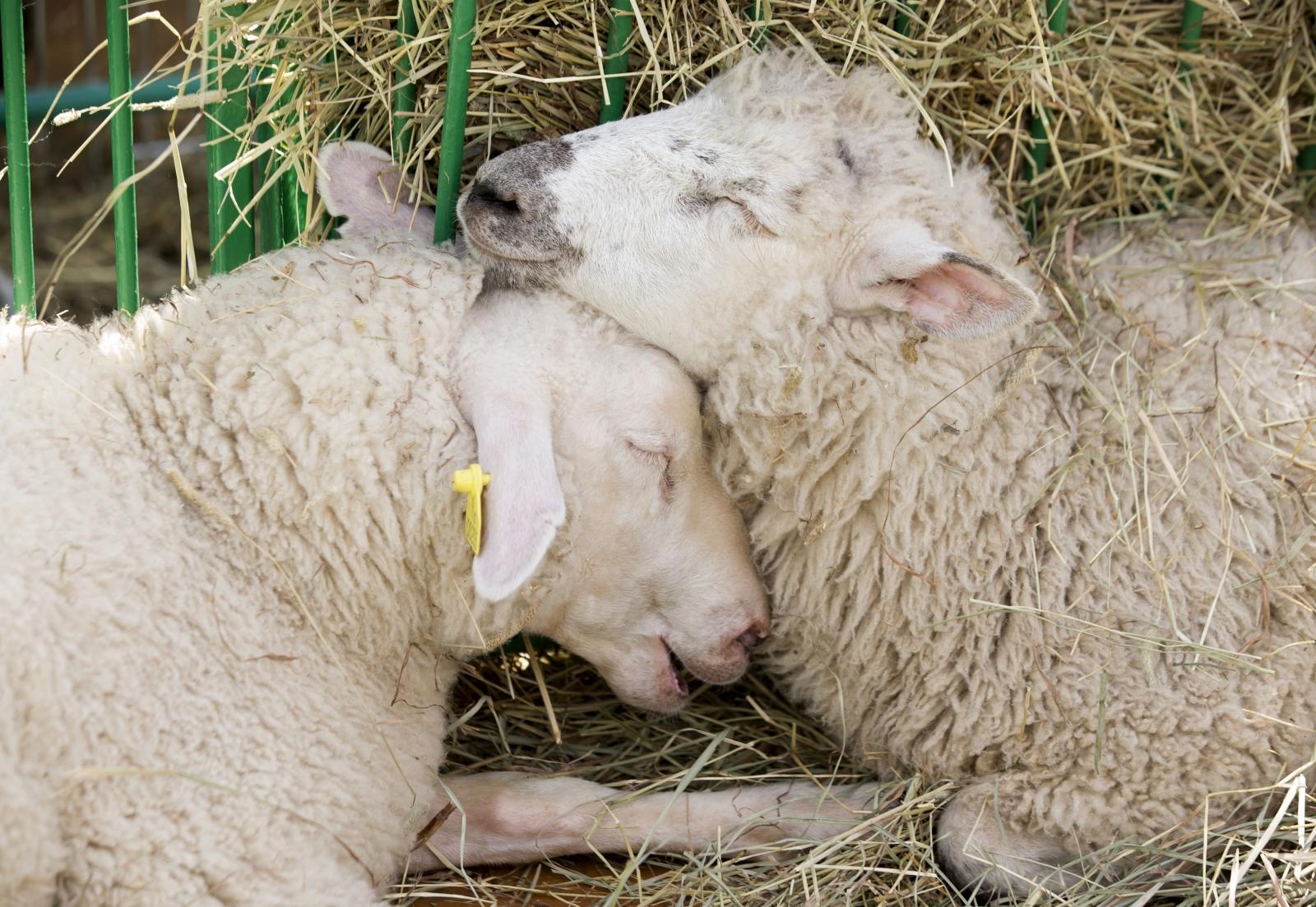 Sheep Canberra