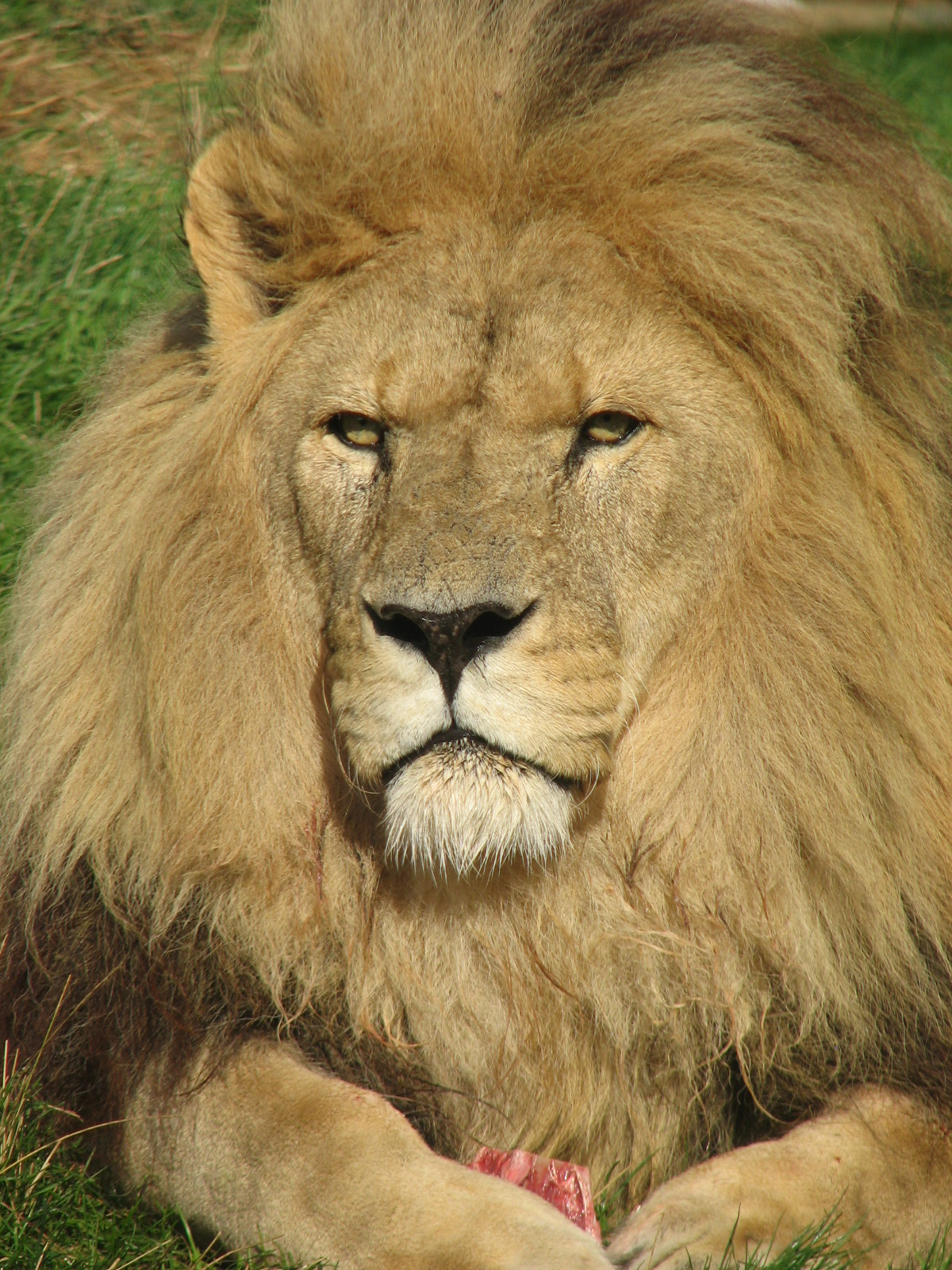 LION PANTHERA