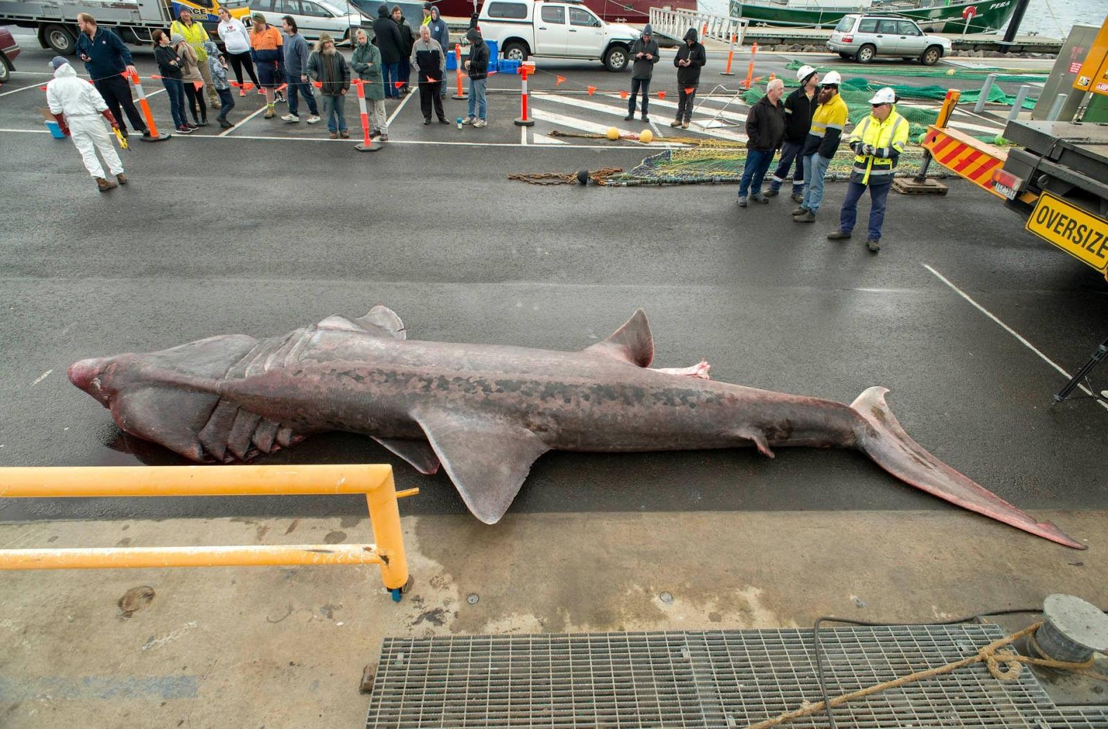 basking shark australia