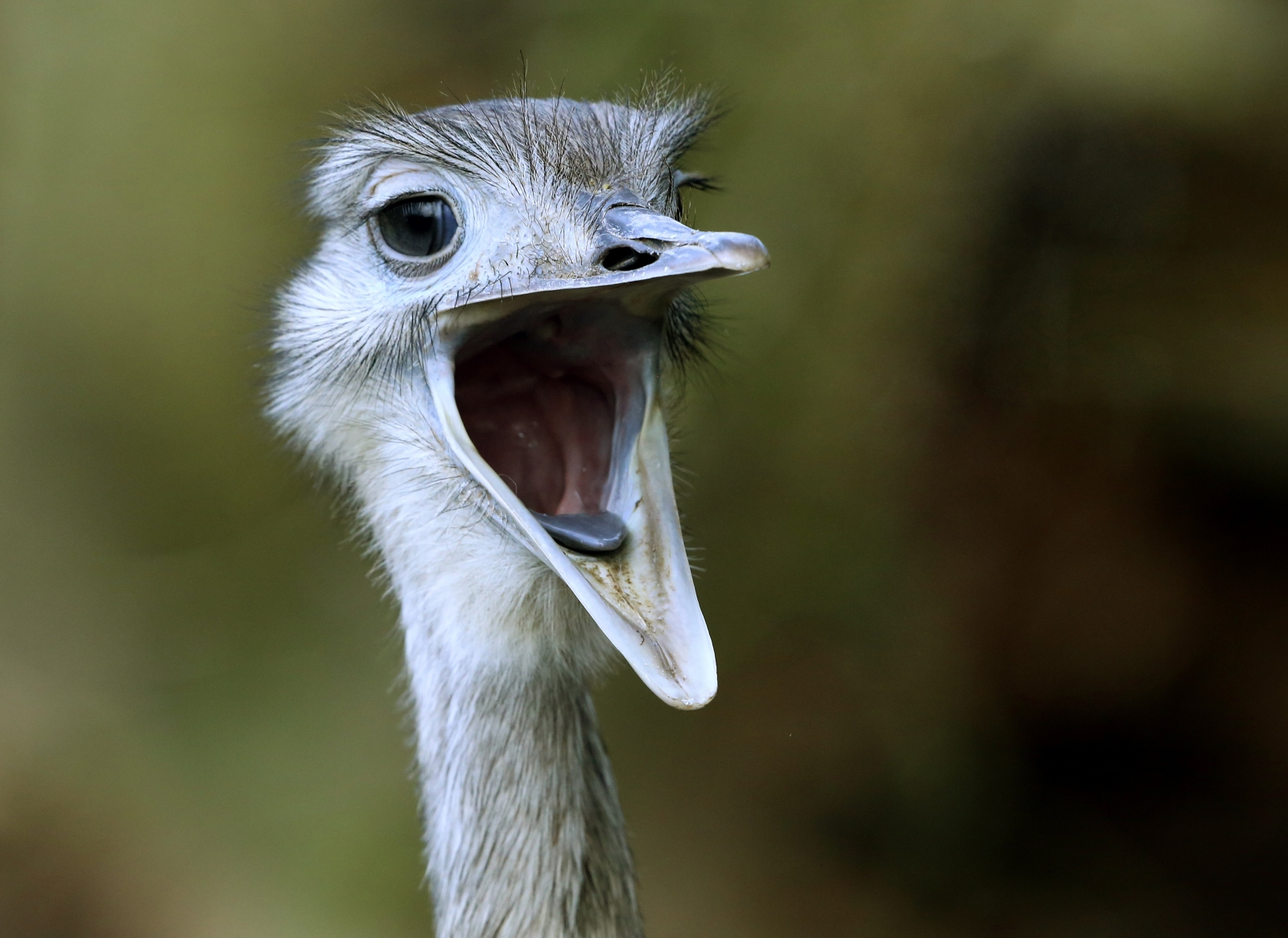 A rhea is on the loose inNottinghamshire