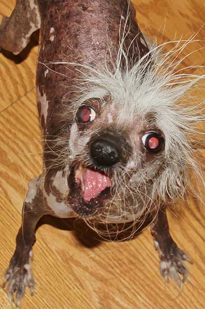 World S Ugliest Dog Meet The Contenders For The Sonoma