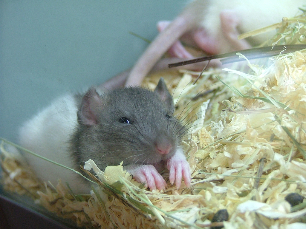 sleeping cute rat