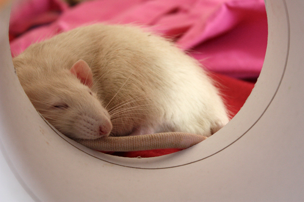 sleeping rat cute