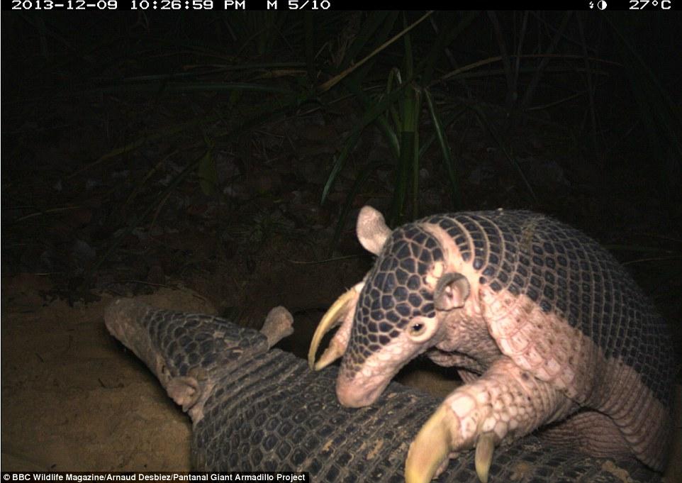 Alex giant armadillo