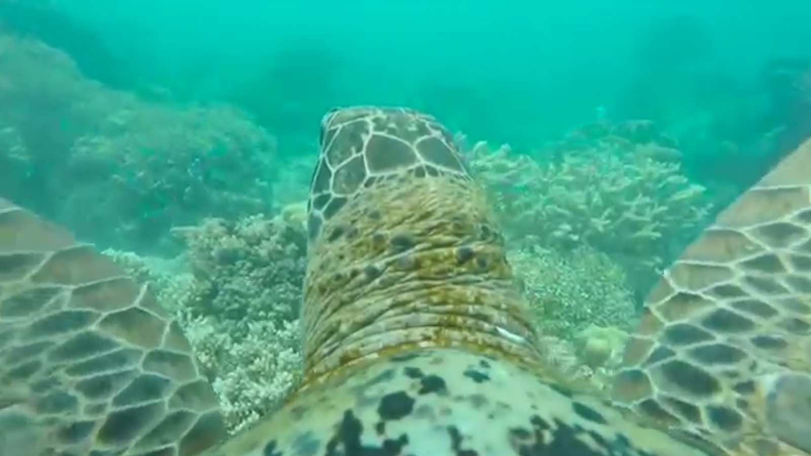 turtle gopro