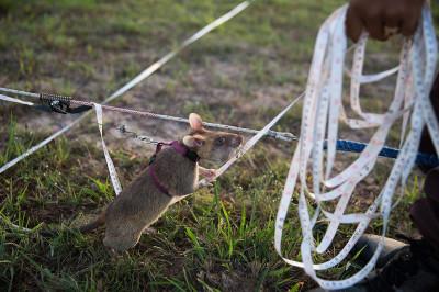 cambodia giant rats land mines