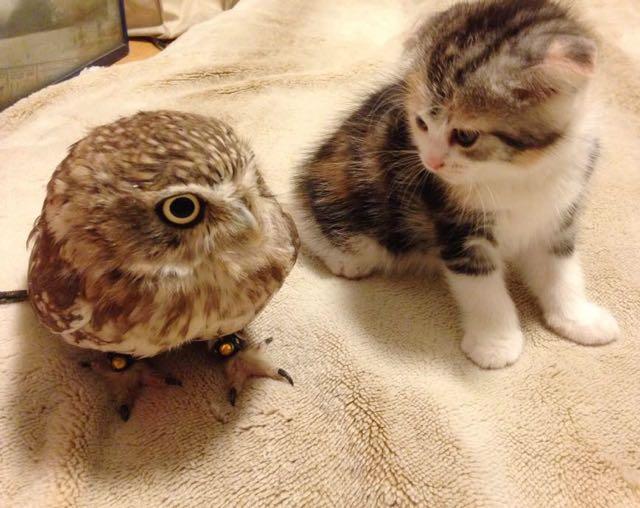Owl and kitten