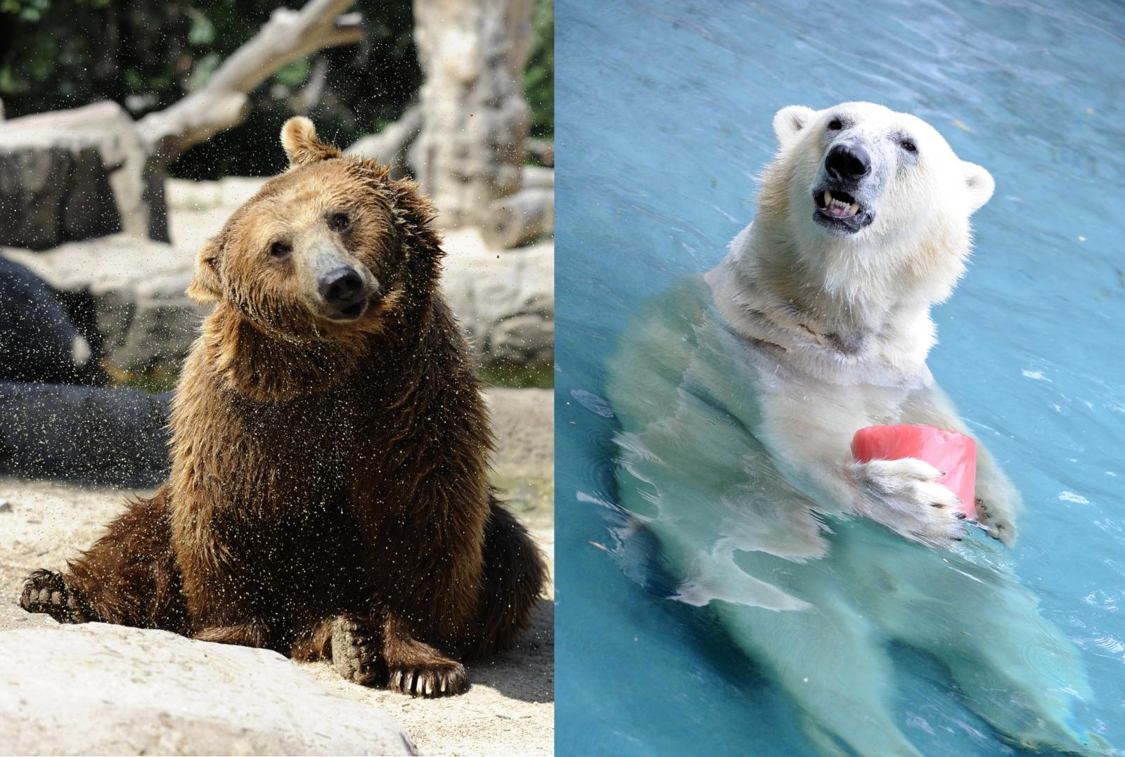 grolar bear prizzy