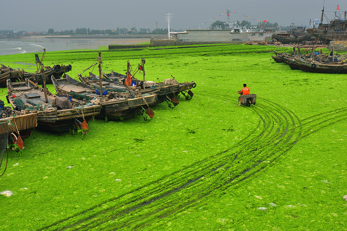 China Yellow Sea Turns Green As Qingdao Beaches Are