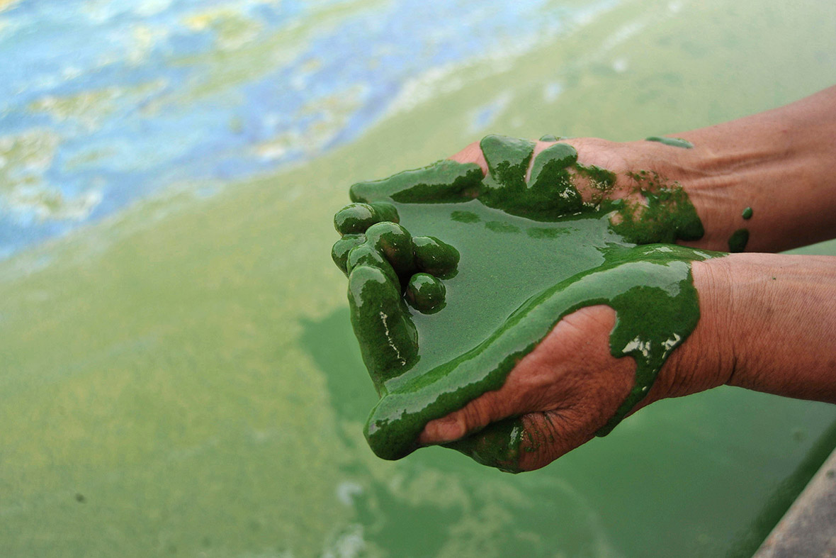 china algae