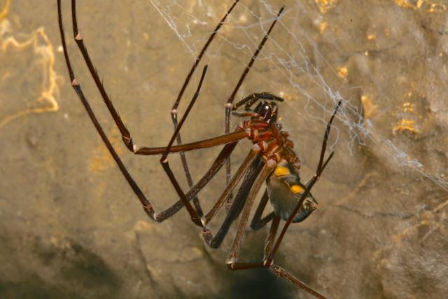 Tasmanian cave spider