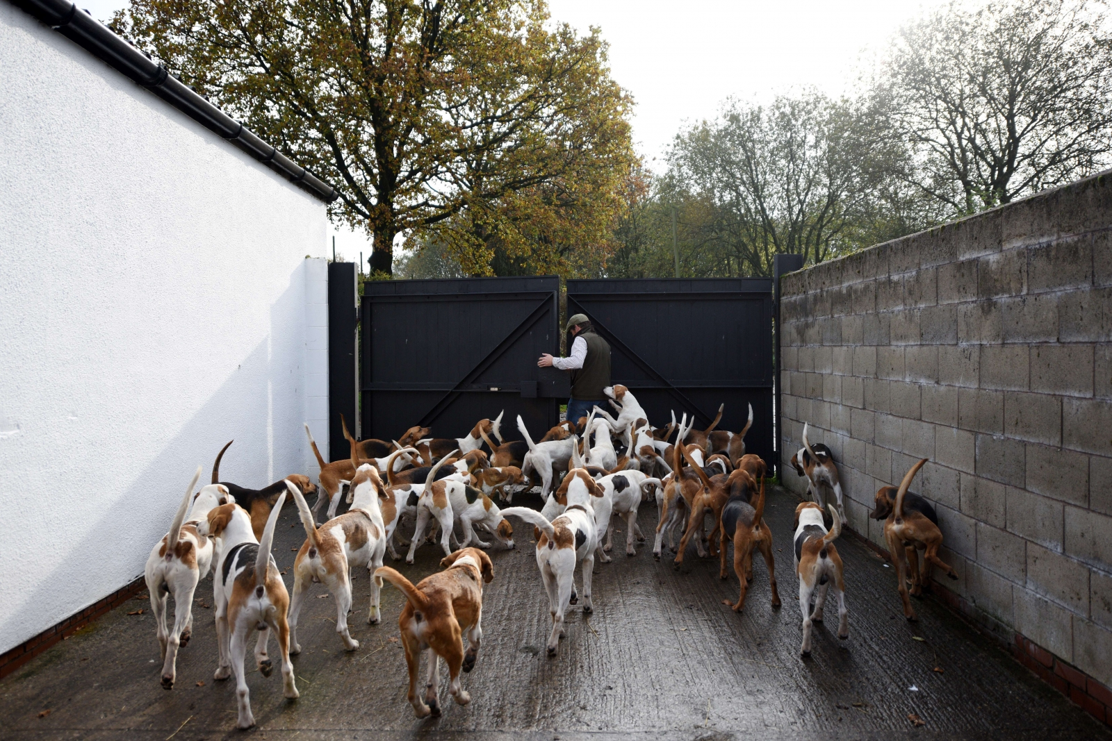 Fox hunting hounds