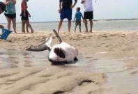 Shark rescue on beach