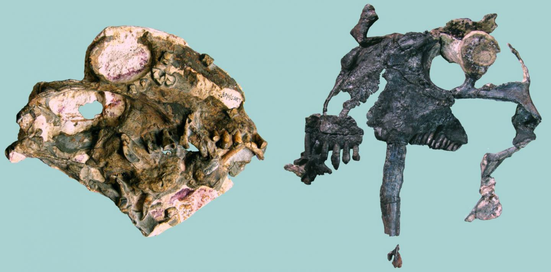 Anomocephalus and Tiarajudens