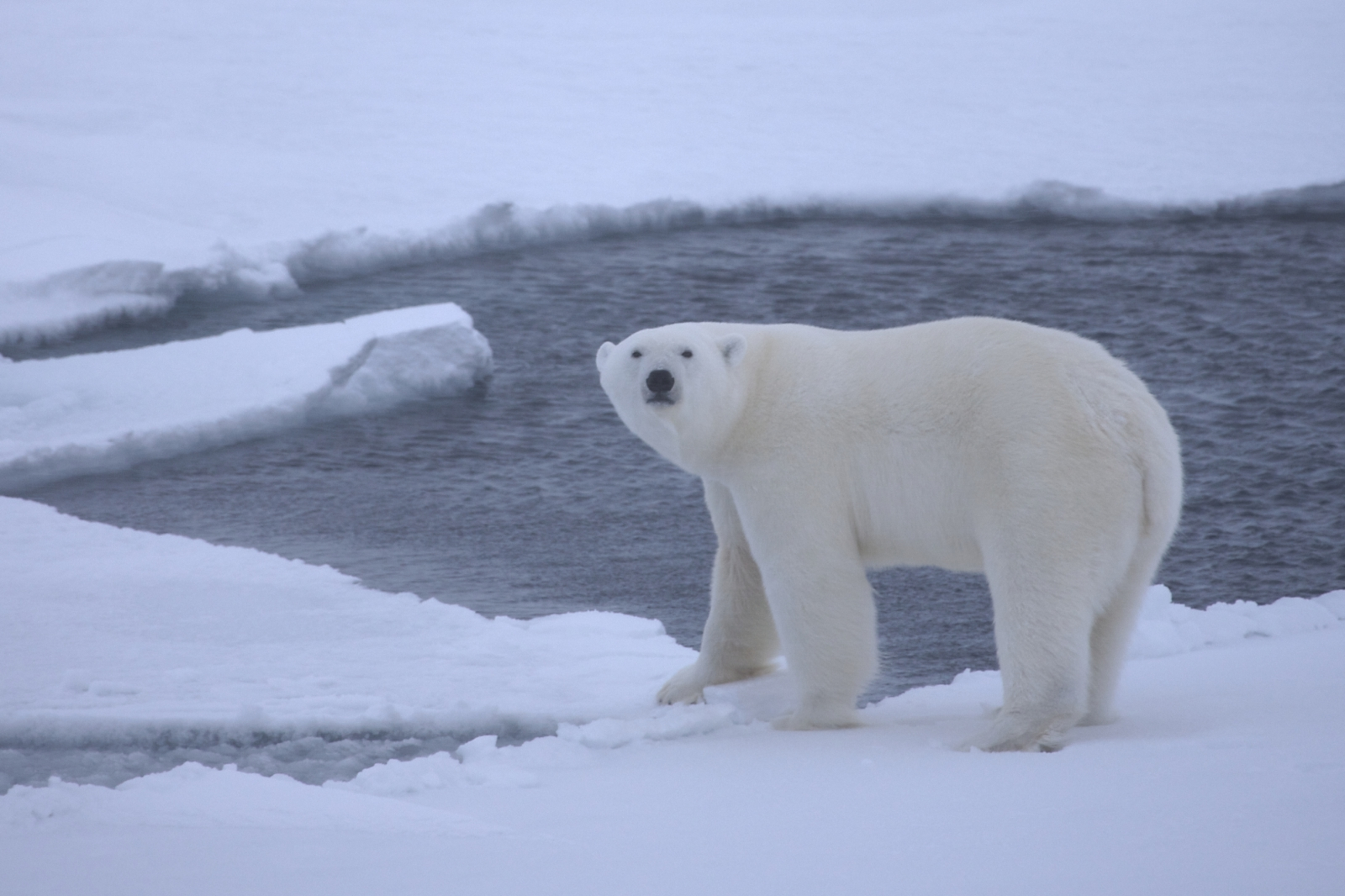 polar bears extinction threat
