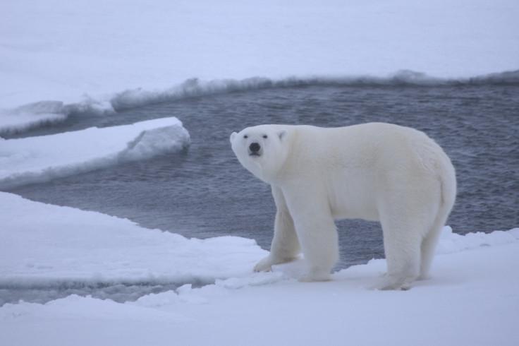 polar bears extinction threat