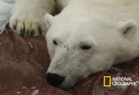 Polar bear research National Geographic