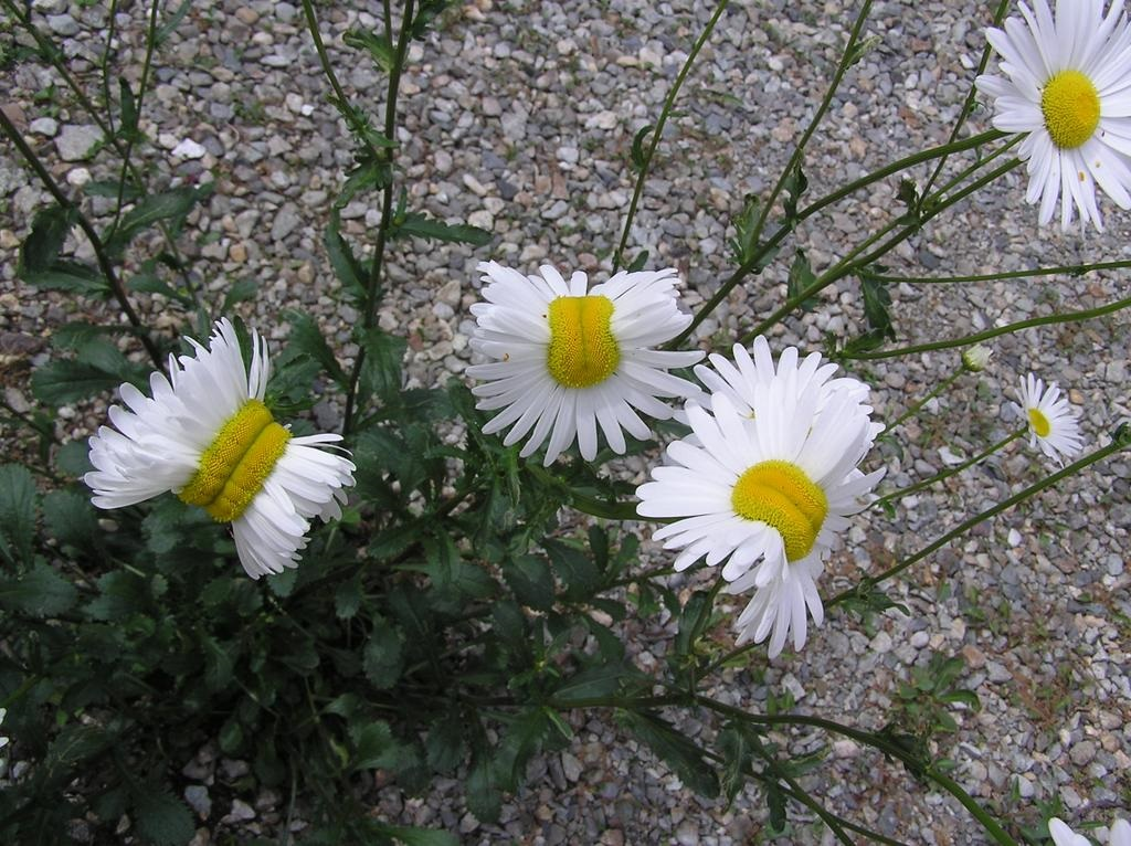 Fukushima mutant flowers and deformed daisies