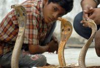 Cobra snake india