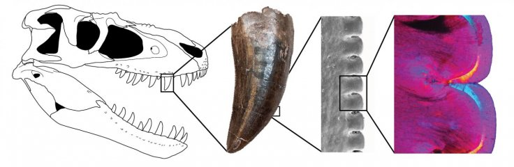 Gorgosaurus Tooth Section