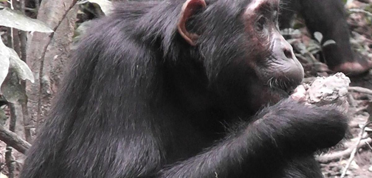 chimp eating clay