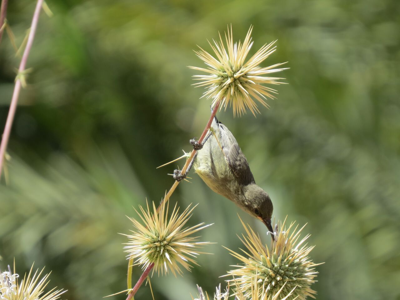 Palestinian sunbird feeding in Saudi