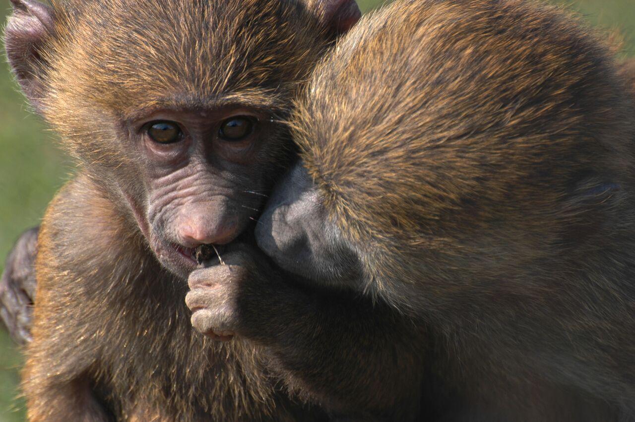 juvenile baboons