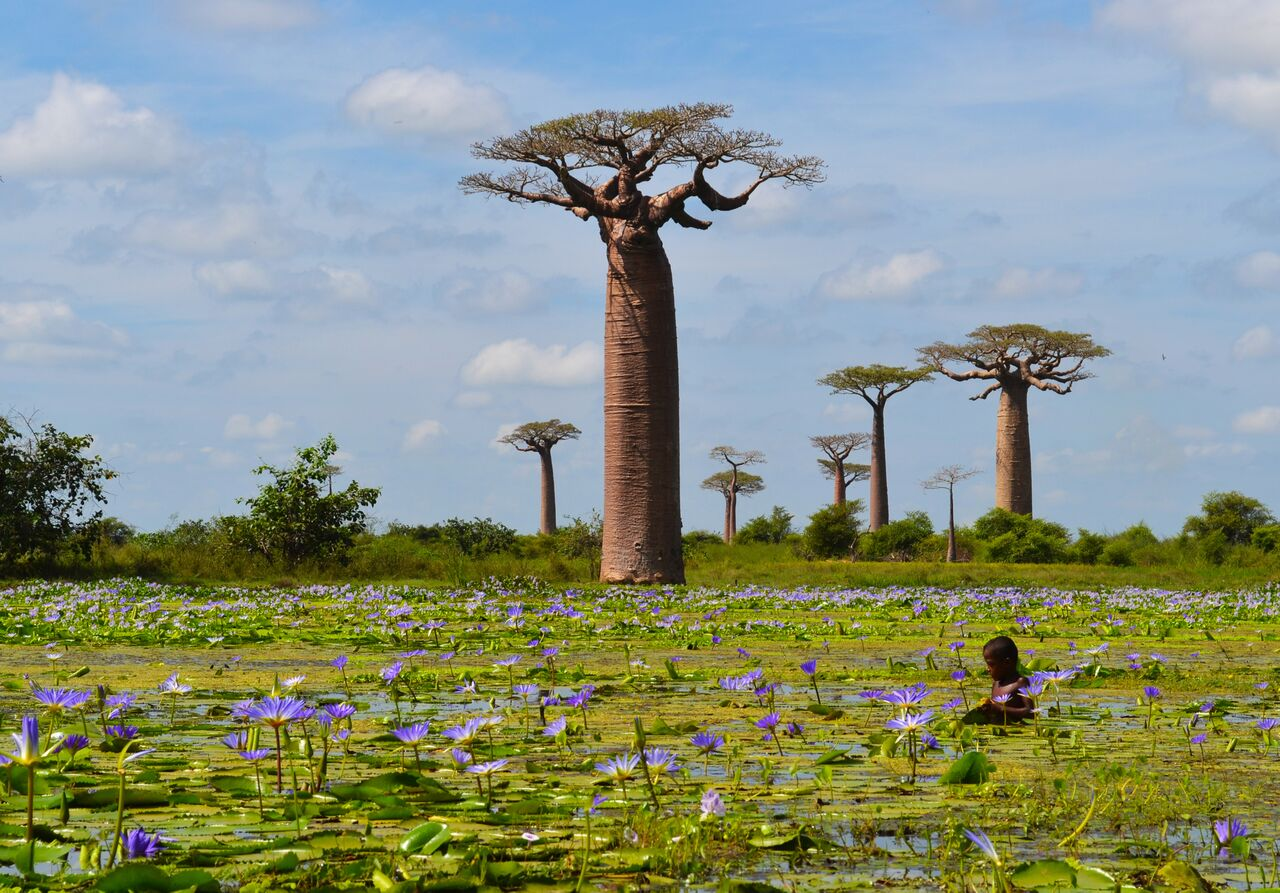 Highly commended -Waterlilies in Madagascar