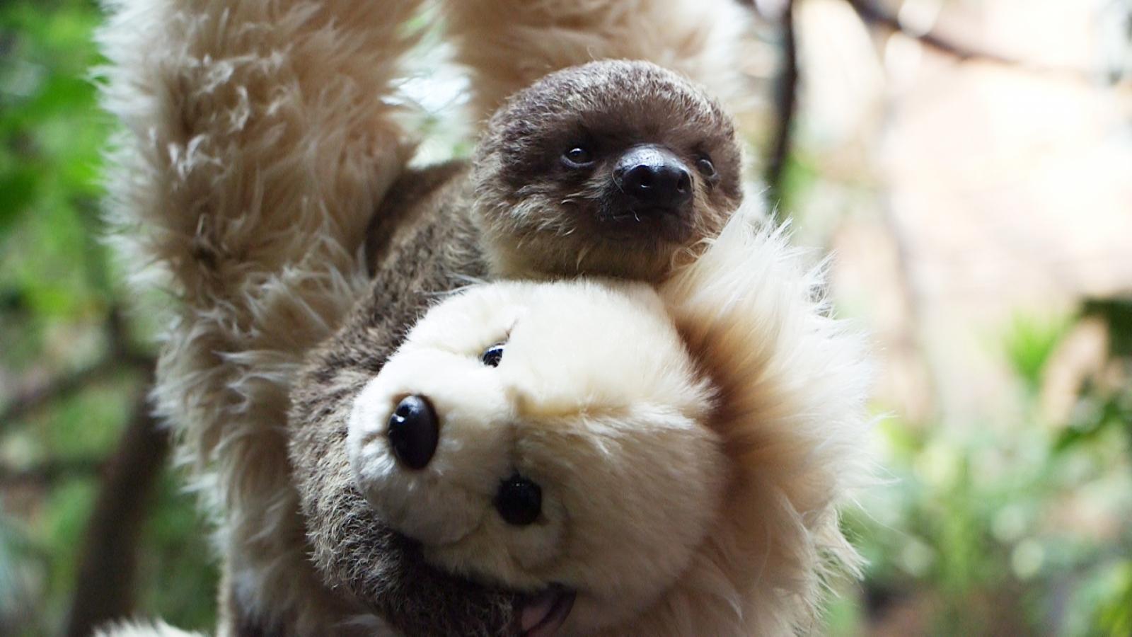 tiny baby sloth