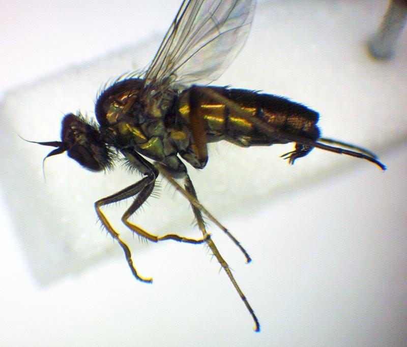 The Raphium pectinatum fly