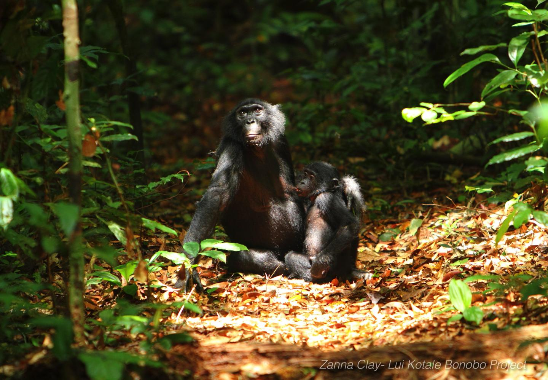 bonobo communication