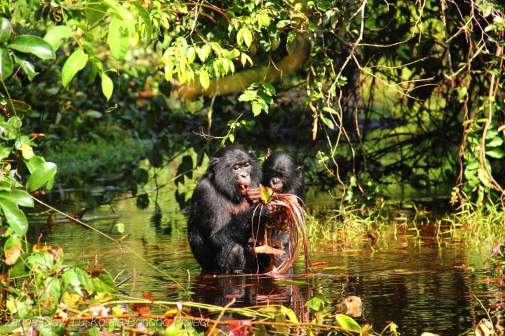 bonobos feeding