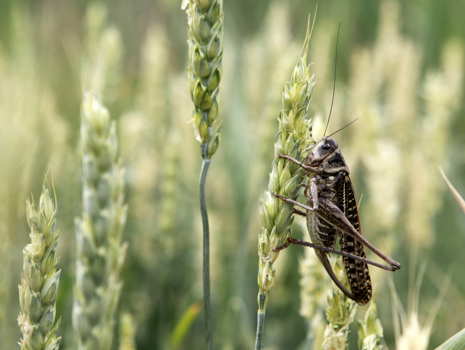 Locust swarms plague southern Russia