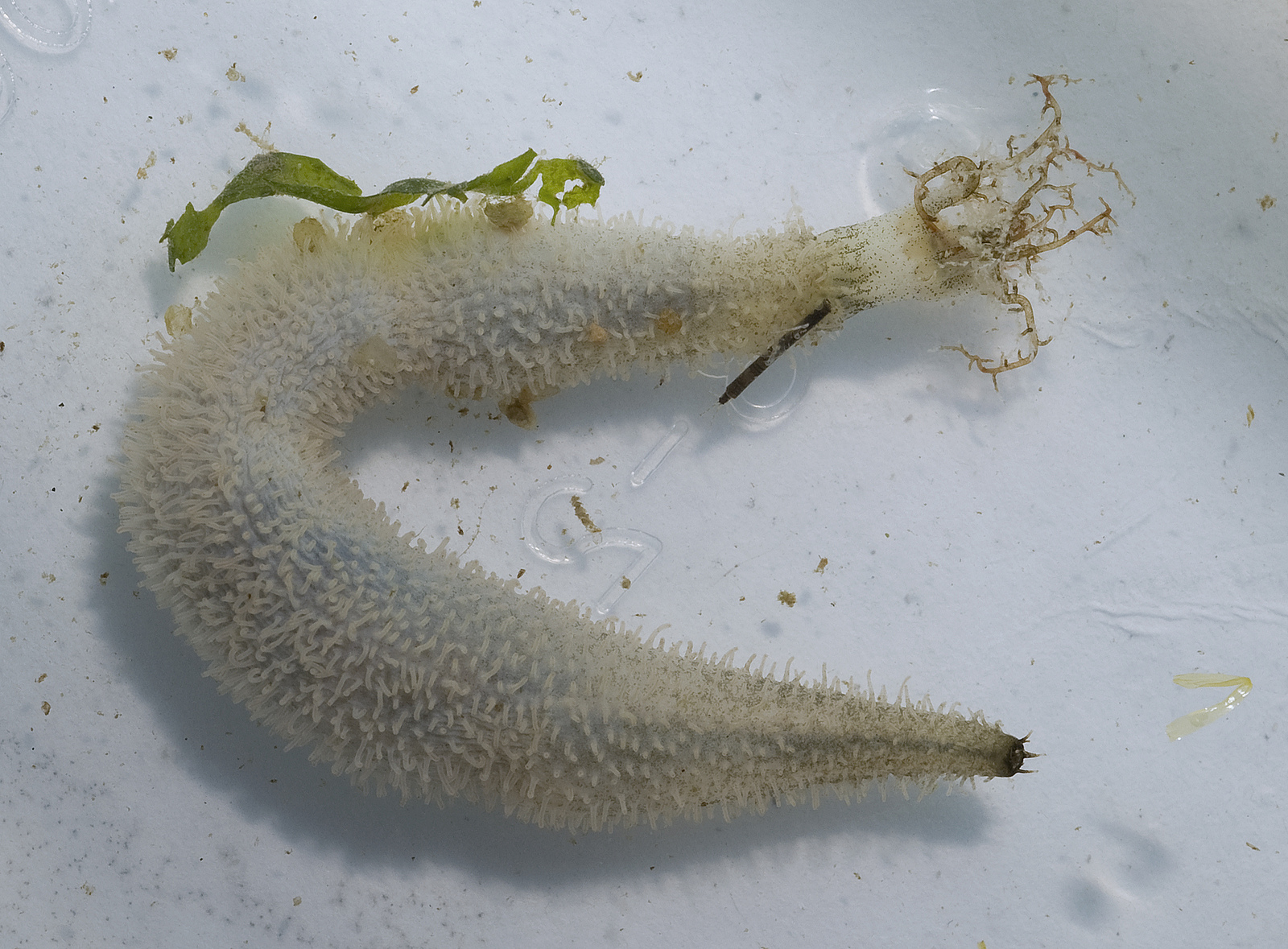 white sea cucumber