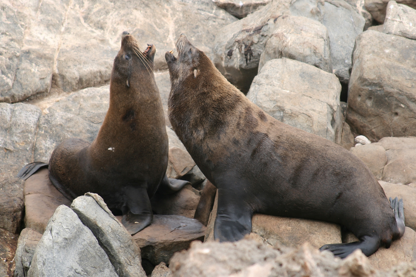 long-nosed fur seal