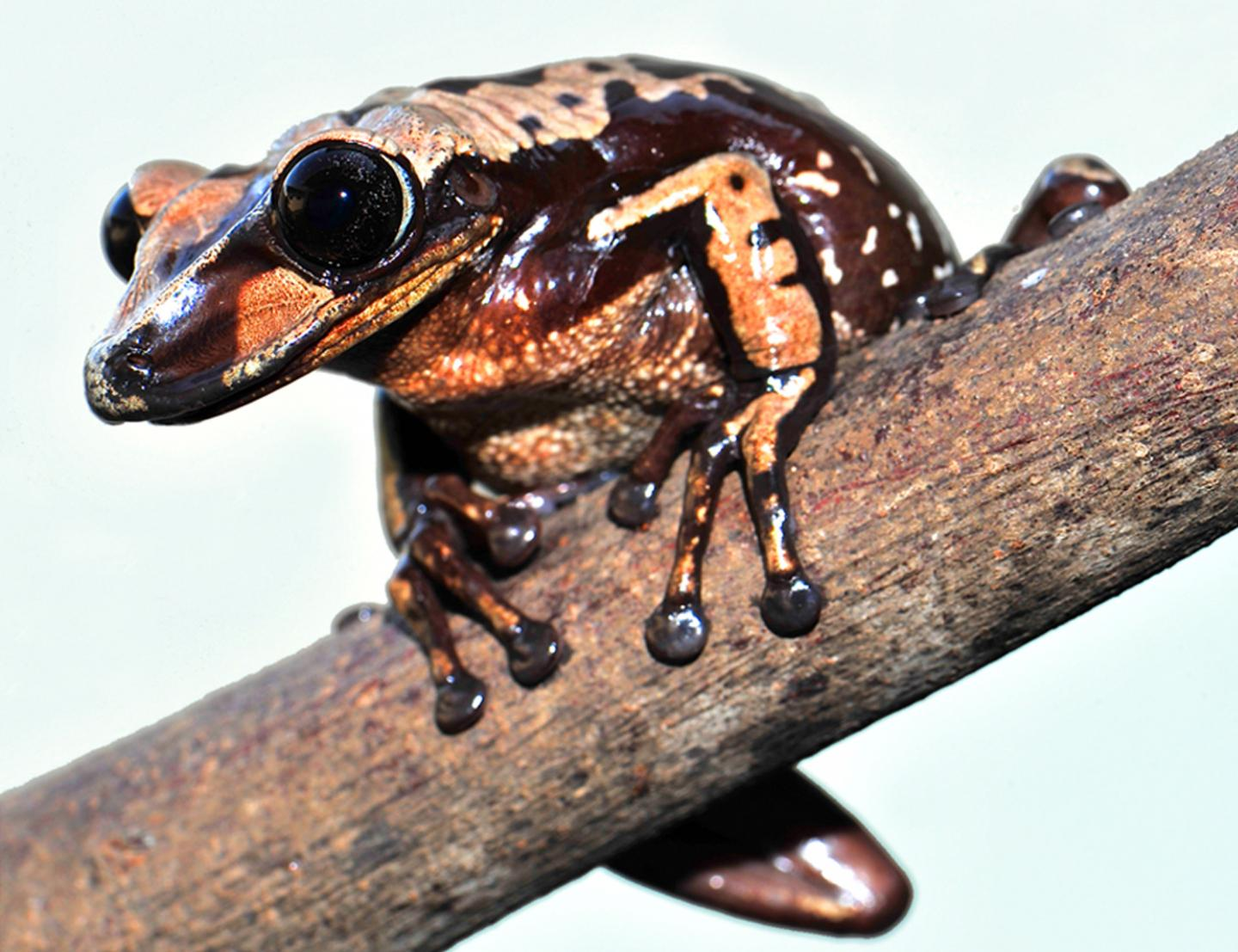 extremely deadly frog