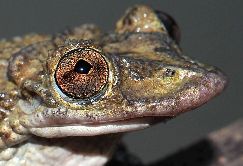deadly frog brazil