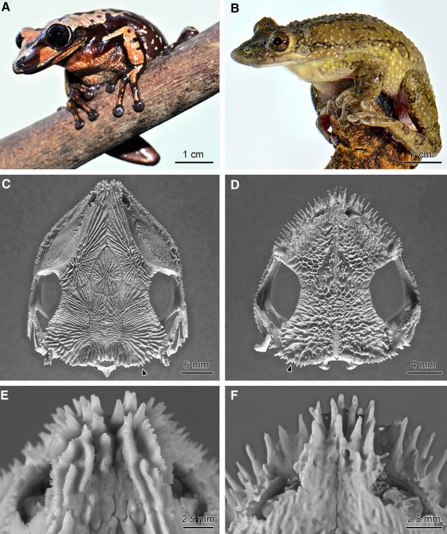 poison frog species head