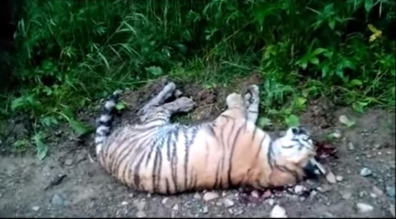 dead siberian tiger cub