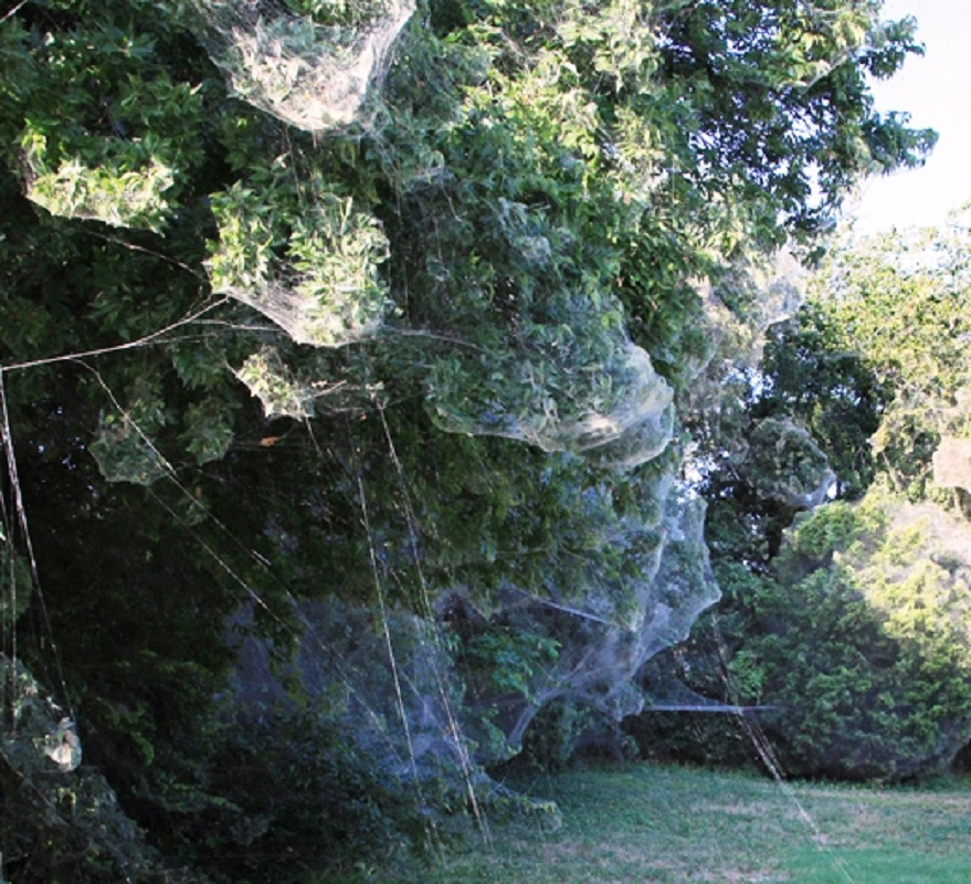 spider web takes over town