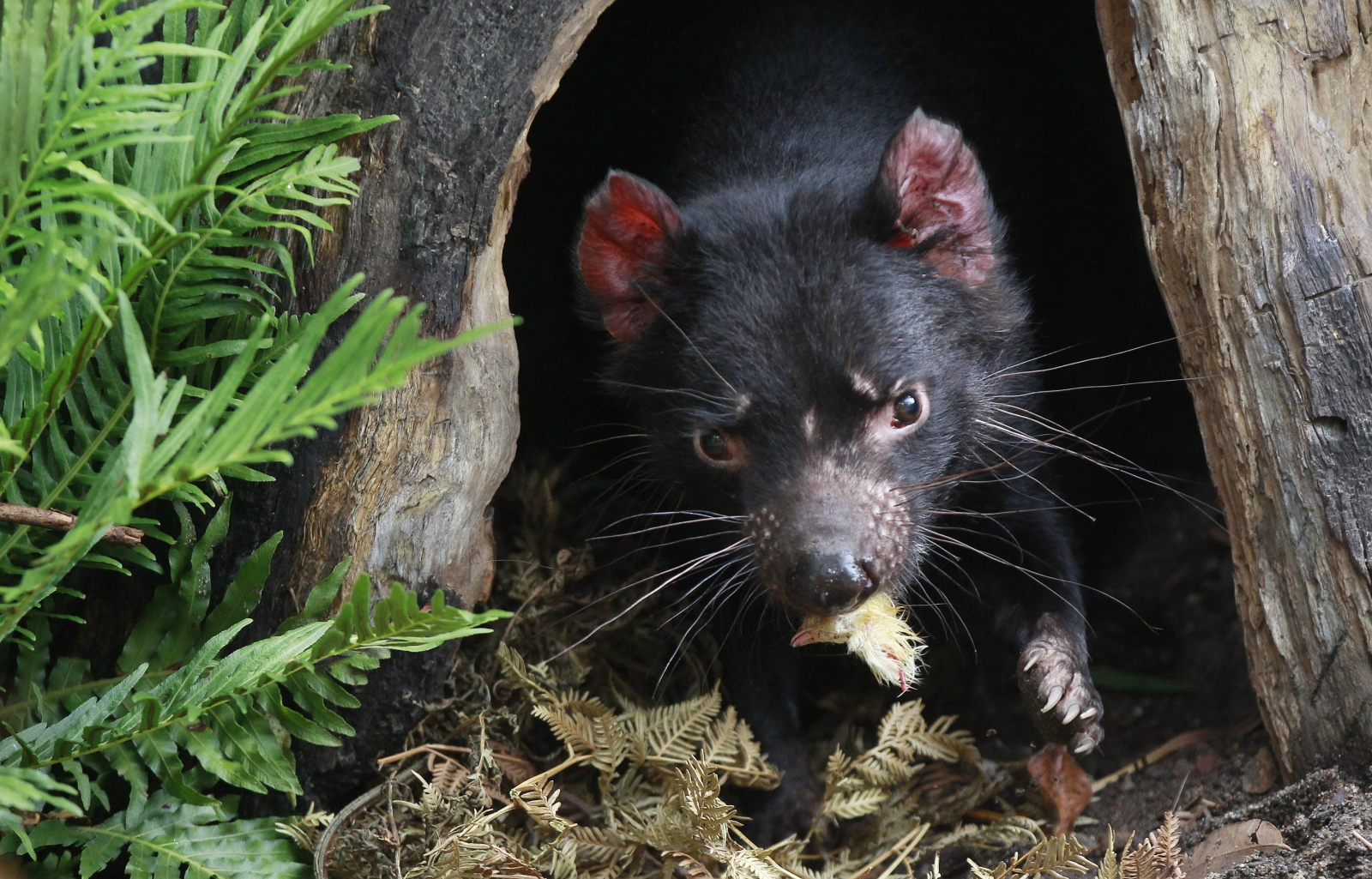 Scientists call for tasmanian devils to be released on to mainland australia - Tasmanian devil pics ...