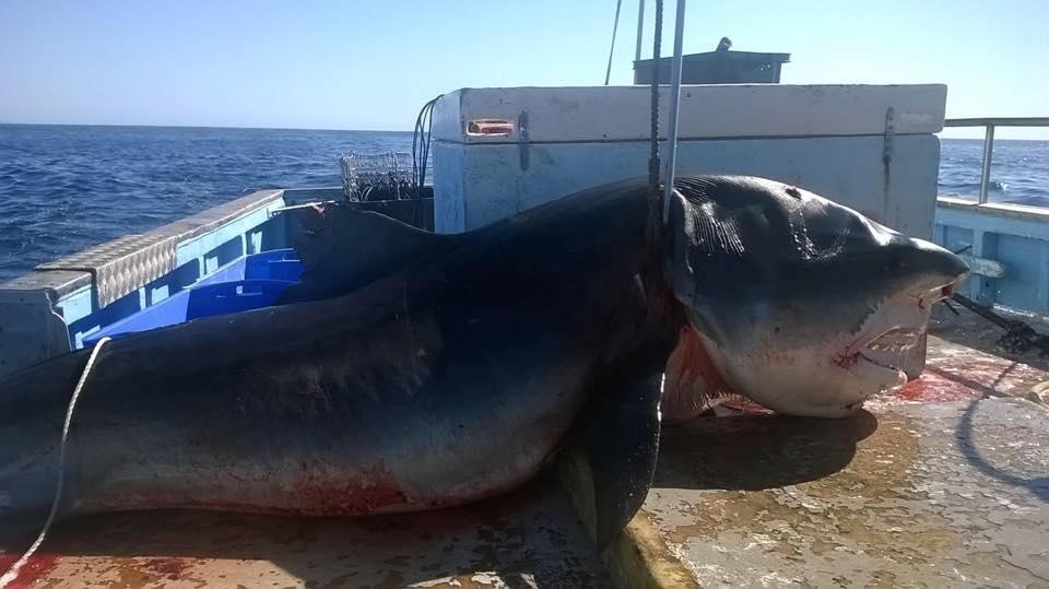 tiger shark australia