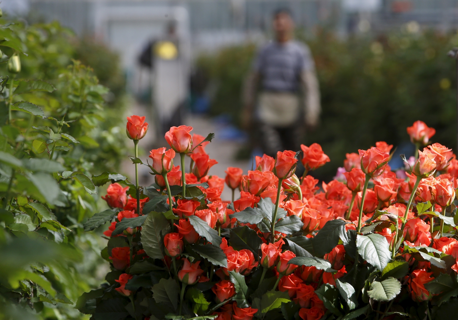Russia Dutch flowers import