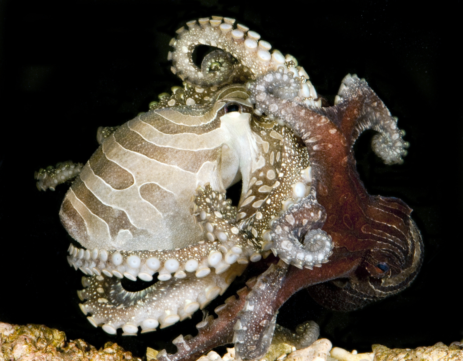 pacific striped octopus mating