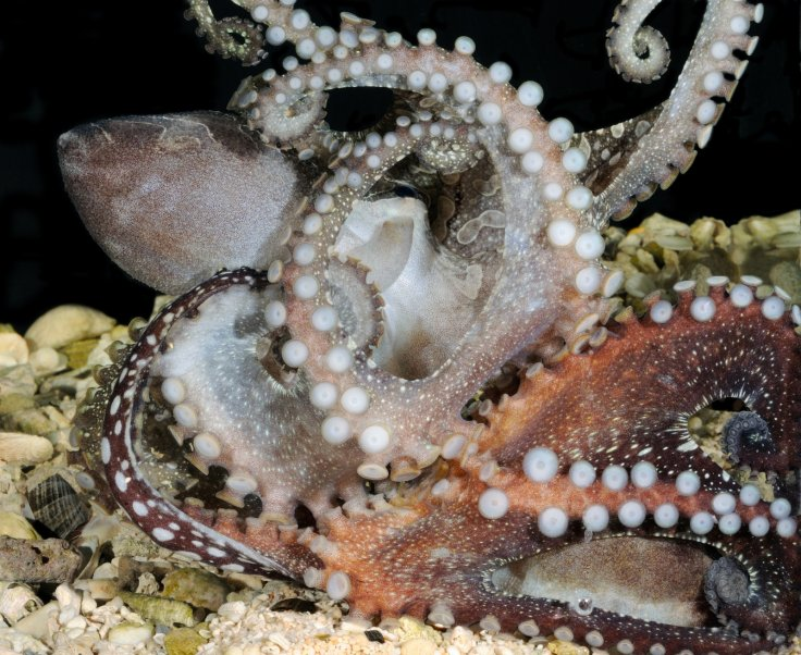pacific striped octopus