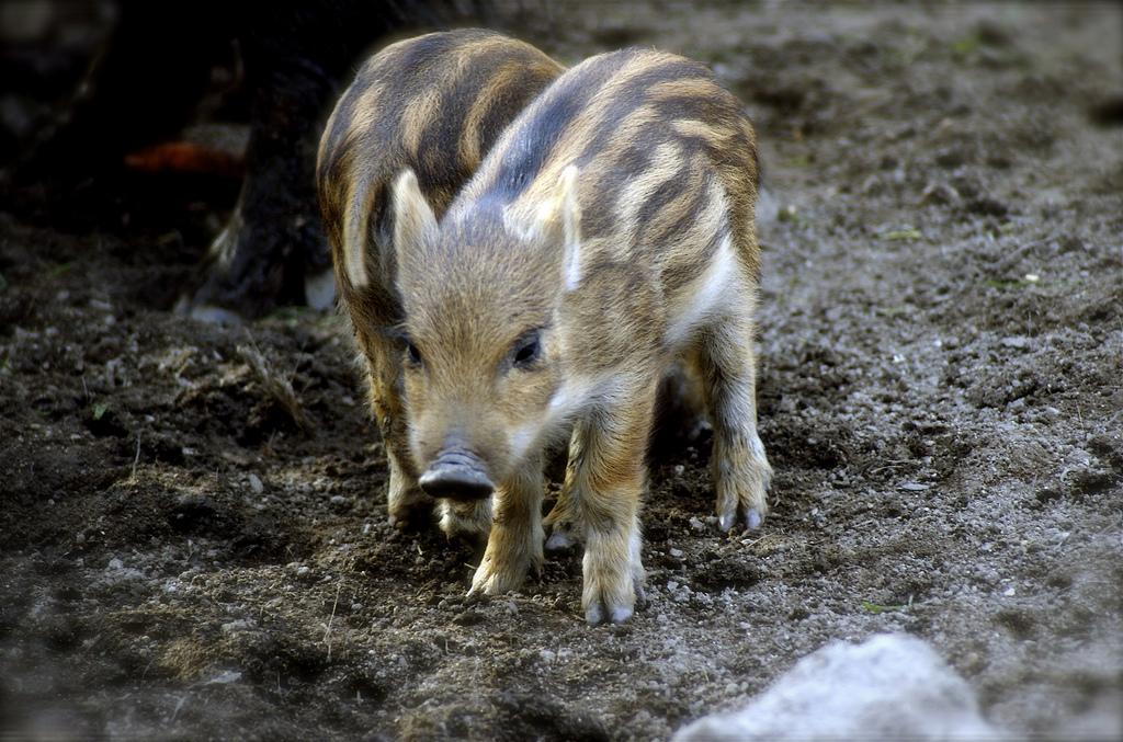 wild boar piglet cute