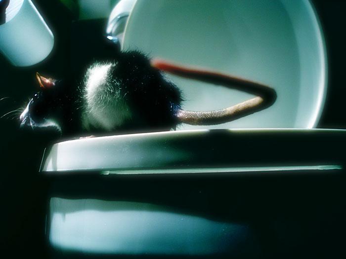 rat in toilet