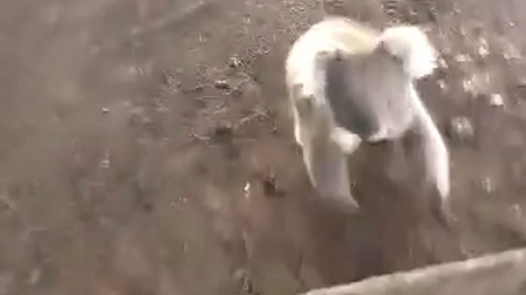 Koala chasing woman on quad bike