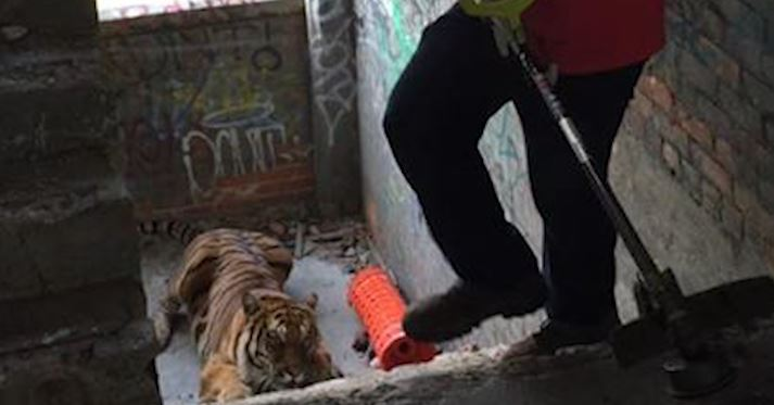 Tiger on the loose in Detroit