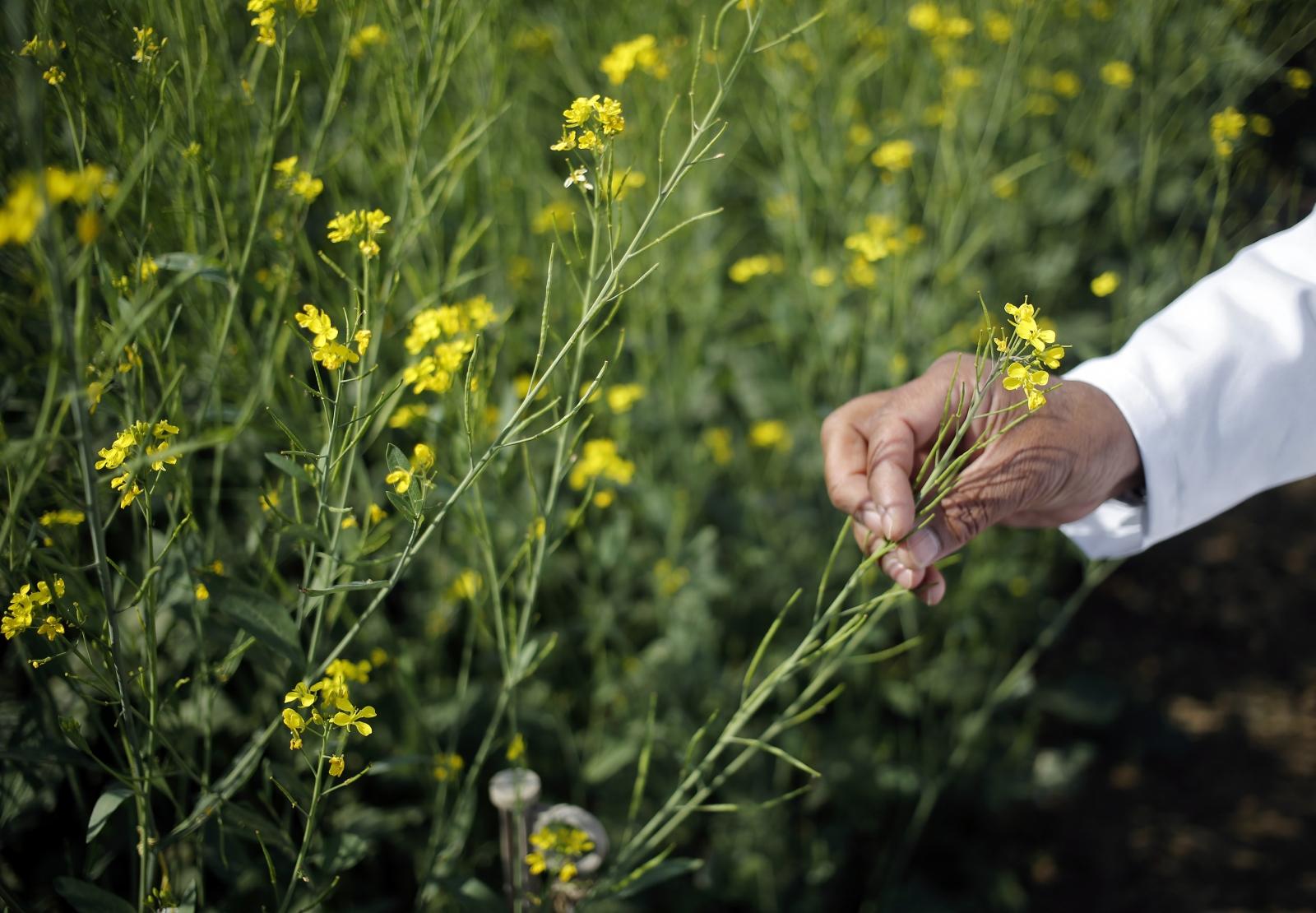 GM crops good